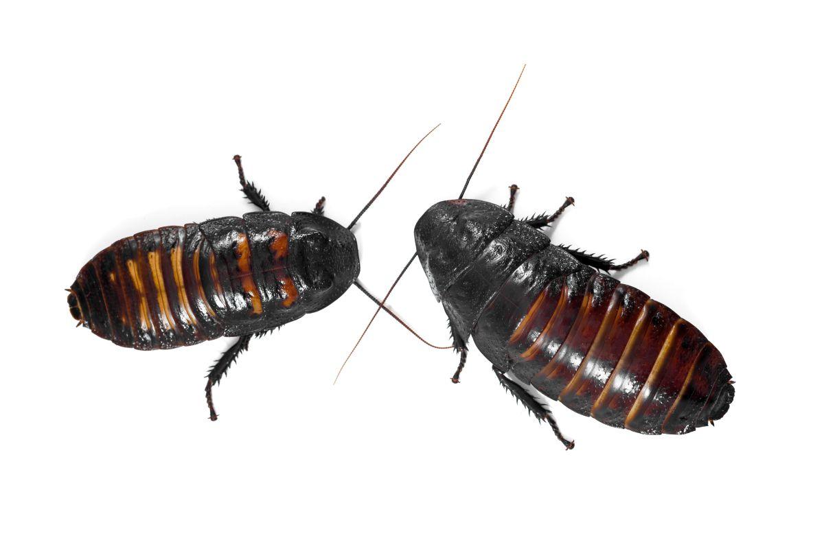 Quel Produit Pour Tuer Les Blattes blattes & cafards | traitement à nice cannes antibes cagnes