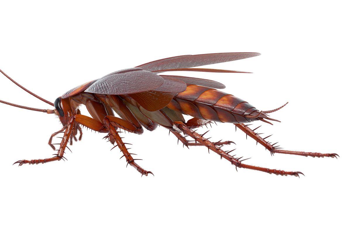 Blatte De Cuisine Photo blattes & cafards | traitement à nice cannes antibes cagnes